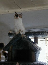 Cyrano on top of the cat tree